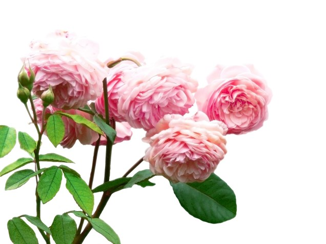 painting-of-pink-roses